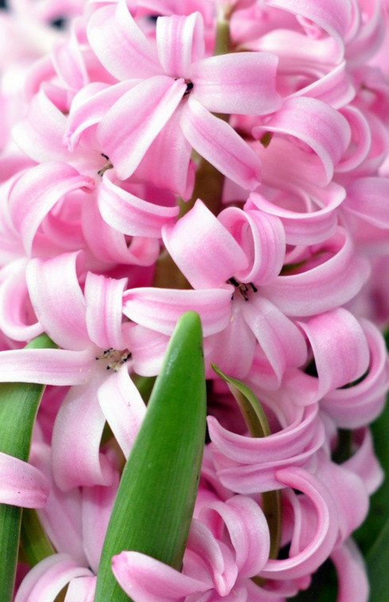 pink Hyacinthus orientalis spring flowers pictures