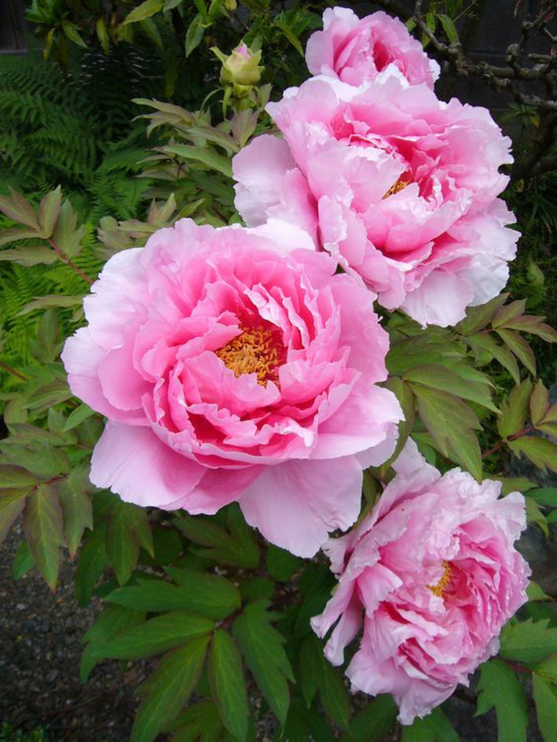 pink common peony Paeonia officinalis beautiful spring flowers pictures