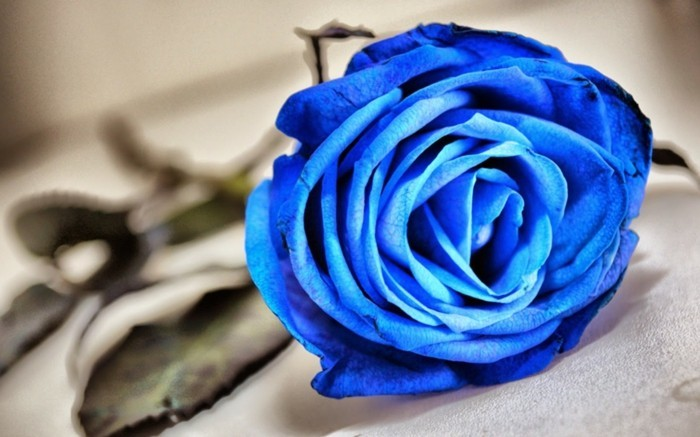 Rose color meaning blue plants