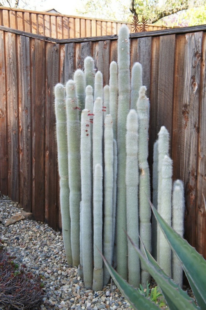 Succulent species Cleistocactus backyard frame