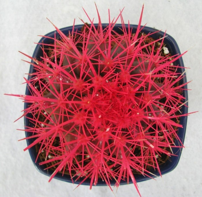 succulent species Echinocactus fancy color