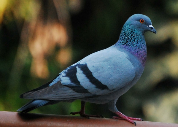 Pigeon Pigeon Blue inspiration from nature