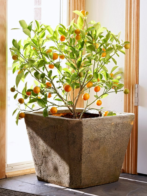 עציץ citrofortunella microcarpa calamondin עץ